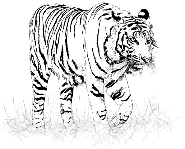 Coloriage Tigre.Coloriage Adulte Tigre